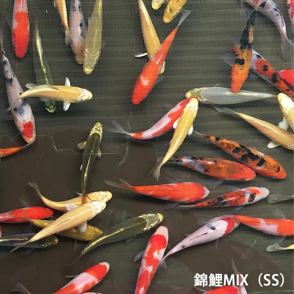 予約販売品 錦鯉MIX SS 10匹 約7cm~10cm前後 ニシキゴイ 紅白 昭和三色 買い物 光物 銀鱗 べっ甲 ドイツ 松葉 山吹黄金 川魚 秋翠 生体 白写り
