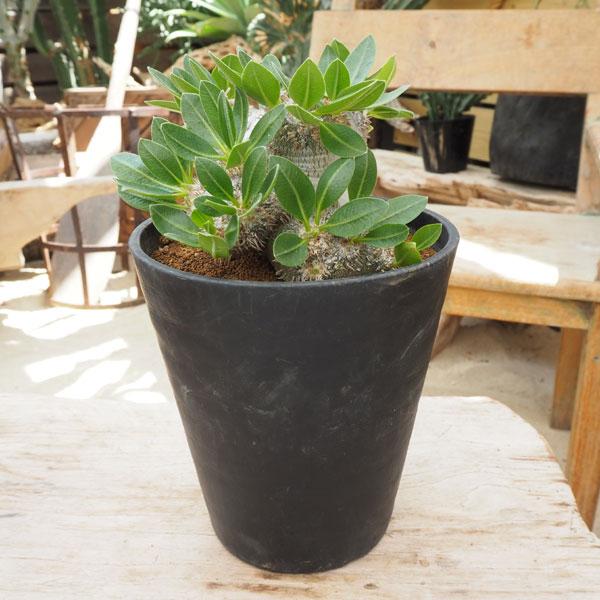 観葉植物/[]パキポディウム:恵比寿笑い(ラメリー台木)6号鉢植え
