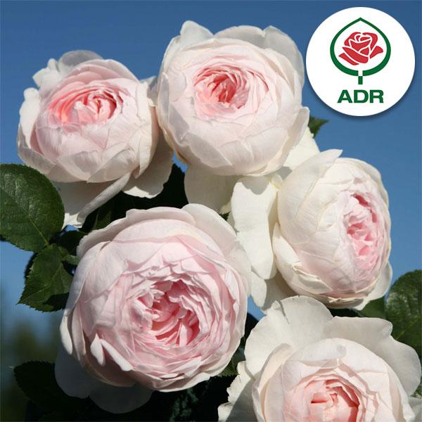 バラの苗/[送料無料]つるバラ:クリスティアーナ8号大型アンドン仕立て