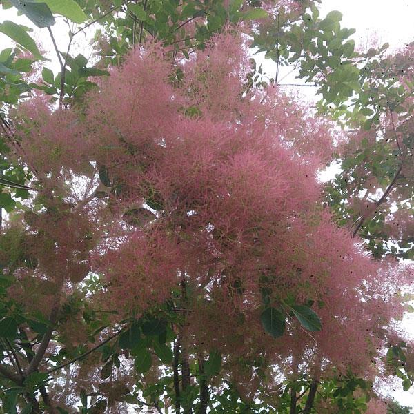 花木 庭木の苗/スモークツリー:フレーム 樹高1.5m根巻きまたは地中ポット