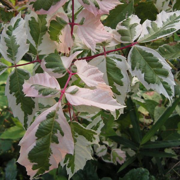花木 庭木の苗/[送料無料]ネグンドカエデ:フラミンゴ8号ポット