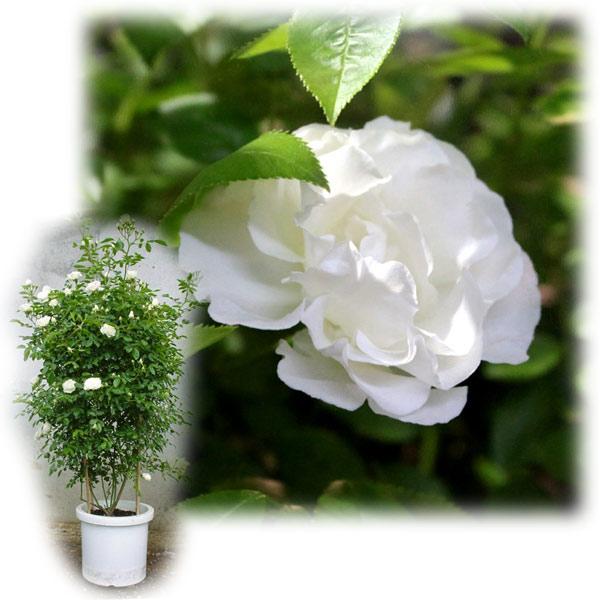 バラの苗/[送料無料]つるバラ:サマースノー8号大型アンドン仕立て