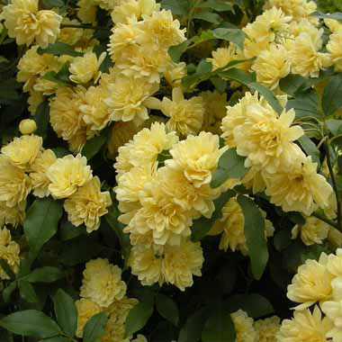 草花の苗/[送料無料]モッコウバラ:黄花3号ポット(八重咲き)28株セット
