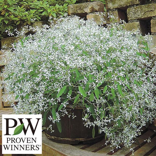 PW 国産品 白い小花がいっぱい咲く人気の草花の苗 草花の苗 新作 人気 ユーフォルビア:ダイアモンドフロスト3号ポット
