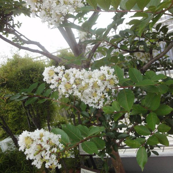 花木 庭木の苗/サルスベリ:白花7号ポット樹高1.2~1.5m