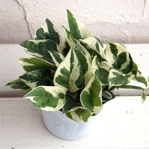 限定Special Price 格安店 白斑が美しい人気品種 観葉植物 ポトス:エンジョイ3号ポット苗