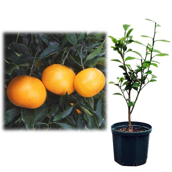 果樹の苗/鉢植え果樹 はれひめ 8号ポット