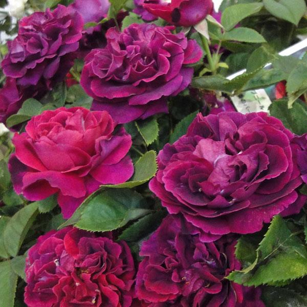 バラの苗/[送料無料]つるバラ:スブニール ドゥ ドクチュール ジャーメン8号大型アンドン仕立て