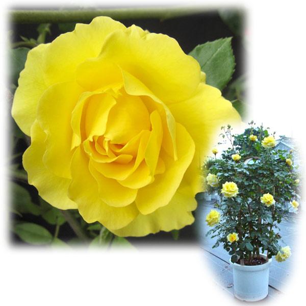 バラの苗/[送料無料]つるバラ:ゴールドバニー8号大型アンドン仕立て