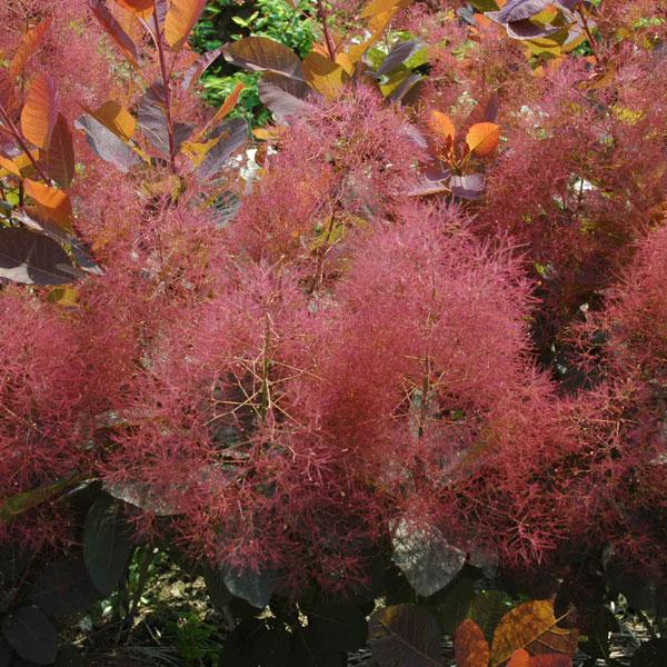 花木 庭木の苗/スモークツリー:グレース 樹高1.5m根巻きまたは地中ポット