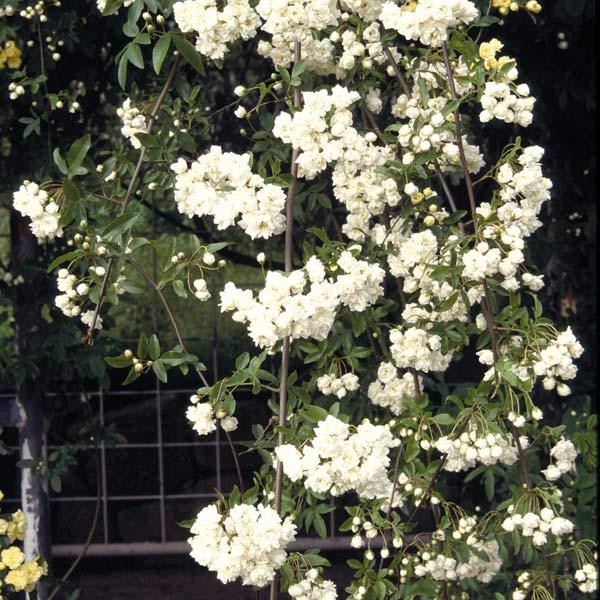 草花の苗/[送料無料]モッコウバラ:白花八重3号ポット28株セット