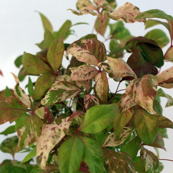 花木 庭木の苗/オタフクナンテン満福(斑入り)5号ポット10株セット