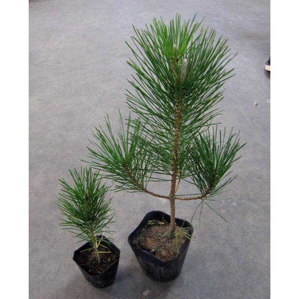 花木 庭木の苗/クロマツ3.5号ポット20株セット