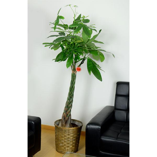 観葉植物/[送料無料]観葉植物:パキラ8号カゴ入り