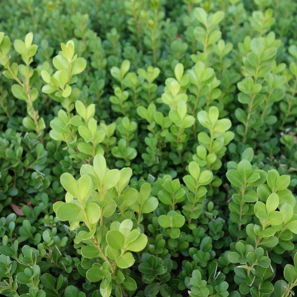 花木 庭木の苗/ボックスウッド(西洋ツゲ)5号ポット樹高50cm 8株セット