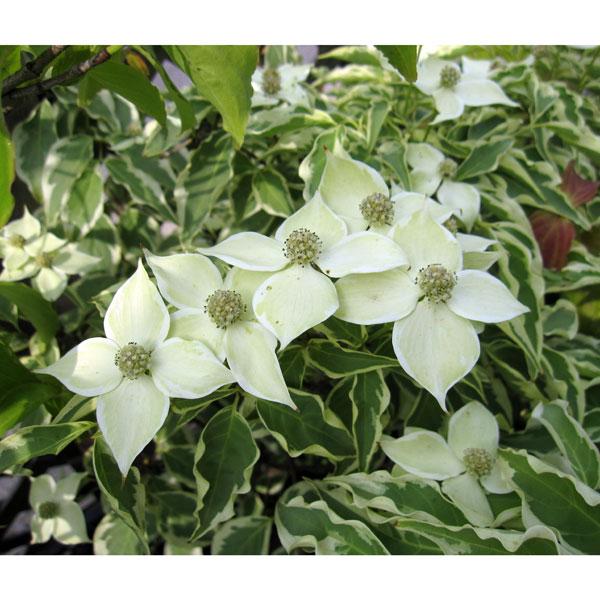 花木 庭木の苗/ヤマボウシ:ウルフアイ樹高1.5m根巻きまたは地中ポット