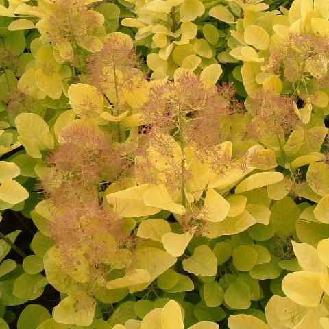 花木 庭木の苗/スモークツリー:ゴールデンスピリット8号ルートバック樹高1m
