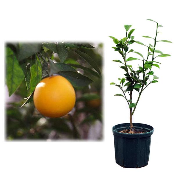 果樹の苗/鉢植え果樹 森田ネーブル 8号ポット