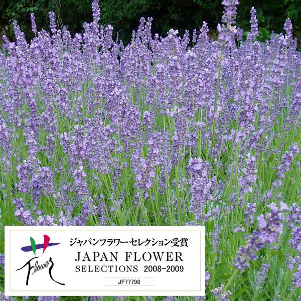 【格安saleスタート】 【ラッキーシール対応】ハーブの苗/耐暑性ラベンダー:長崎ラベンダー城南1号 3号ポット24株セット, 南国フルーツ-果実村TOKIO:beacb7e0 --- townsendtennesseecabins.com