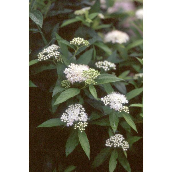 花木 庭木の苗/シモツケ:白花シモツケ5号ポット12株セット