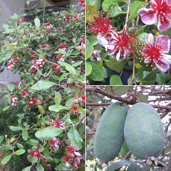 花木 庭木の苗/フェイジョア:クーリッジ株立ち樹高1.2m根巻きまたは地中ポット