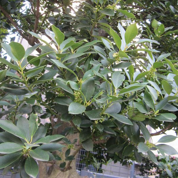 花木 庭木の苗/モチノキ3.5号ポット 20本セット