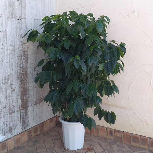 最高級 観葉植物/コーヒーの木 10号鉢植え高さ120cm, nanamode bd3bfa83