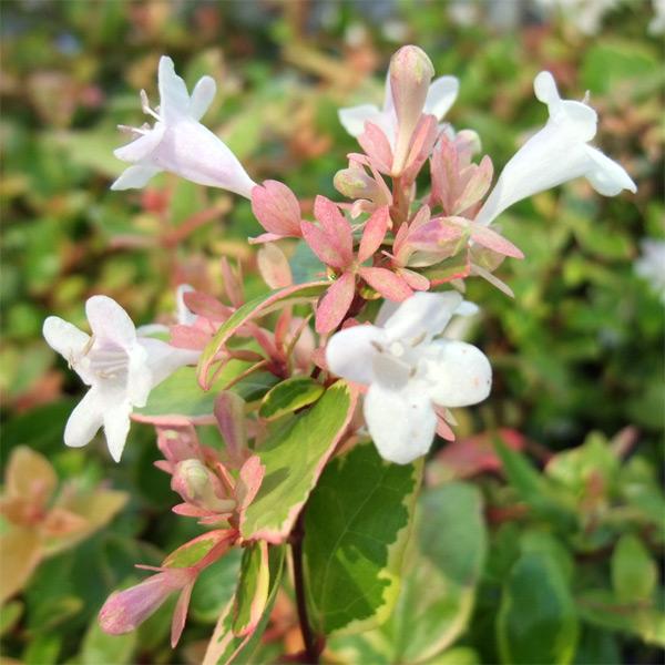 花木 庭木の苗/アベリア:ジャックポット5号ポット12株セット