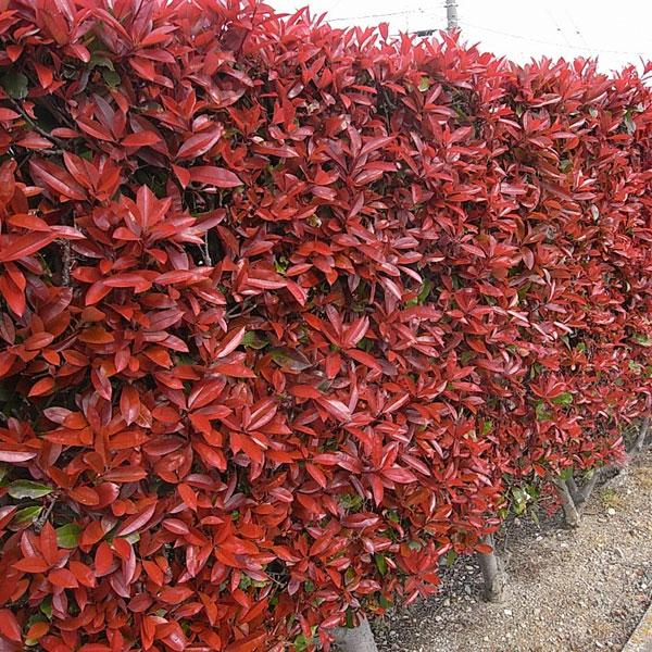 花木 庭木の苗/レッドロビン(西洋紅カナメモチ)5号ポット6株セット