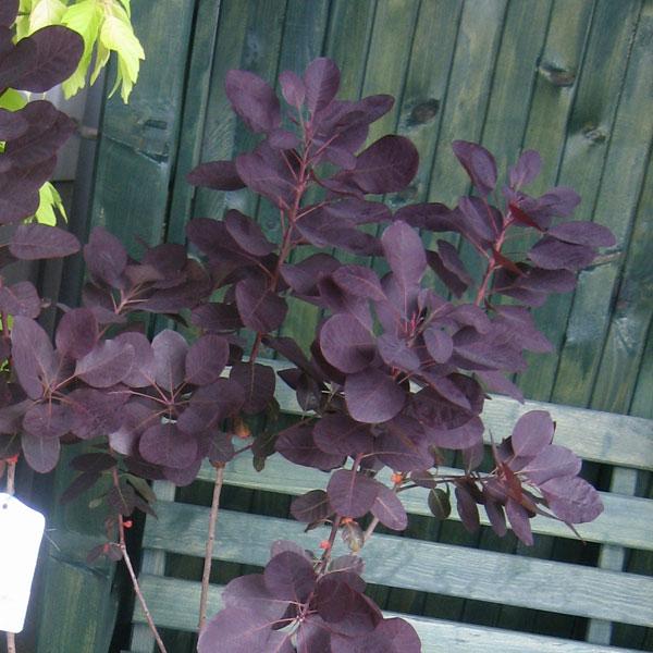 花木 庭木の苗/スモークツリー:ロイヤルパープル樹高1.5m根巻き