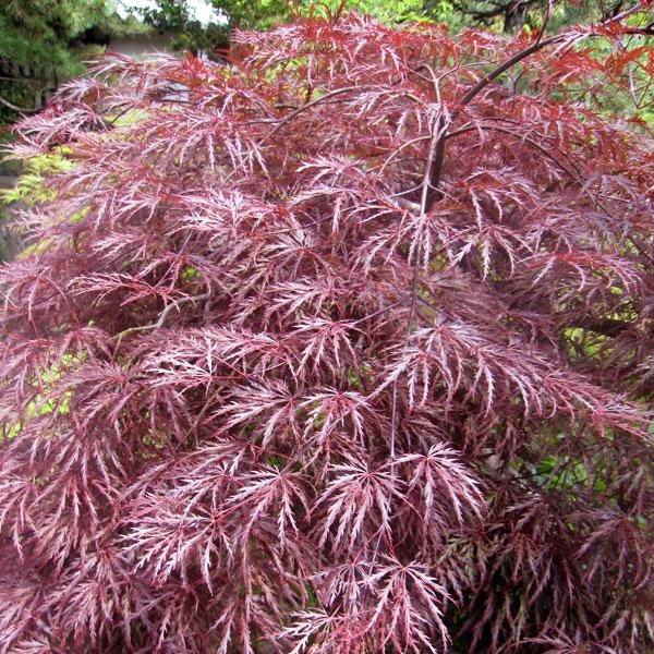 花木 庭木の苗/モミジ:紅枝垂れ(ベニシダレ)樹高1~1.5m根巻きまたはポット苗