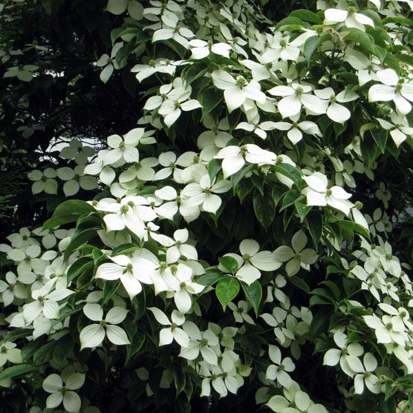 花木 庭木の苗/常緑ヤマボウシ:ホンコンエンシス月光樹高1.5m 株立ち根巻きまたは地中ポット