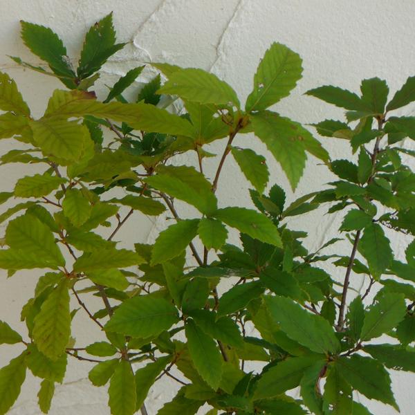 花木 庭木の苗/コナラ3.5号ポット樹高60cm 10株セット