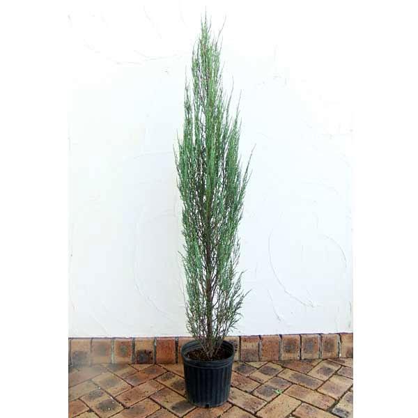花木 庭木の苗/コニファー:スカイロケット樹高1.5m根巻き