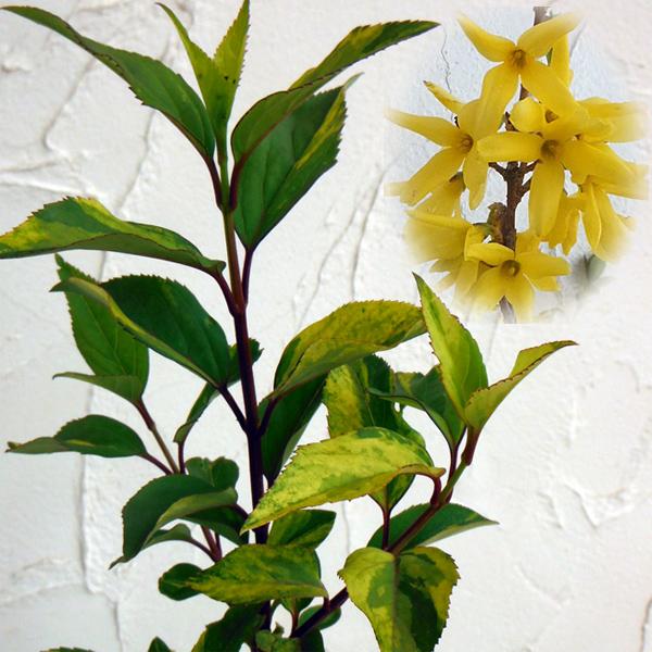 花木 庭木の苗/レンギョウ:タフスアーノルド5号ポット12株セット