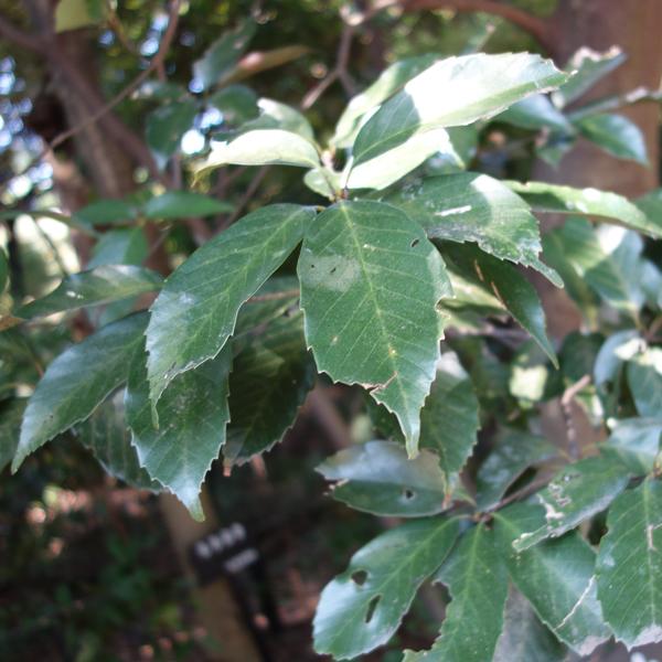 花木 庭木の苗/アラカシ3.5号ポット 20本セット