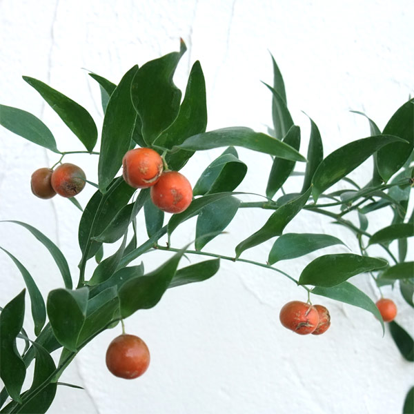 花木 庭木の苗/イタリアンルスカス(ナギイカダの仲間)5号ポット6株セット