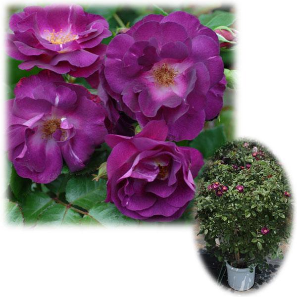 バラの苗/[送料無料]つるバラ:ソニャドール8号大型アンドン仕立て
