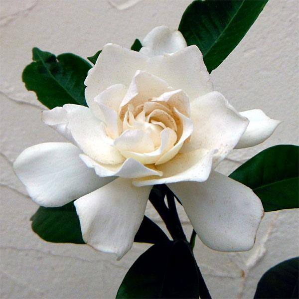 花木 庭木の苗/クチナシ:八重咲きクチナシ5号ポット12株セット