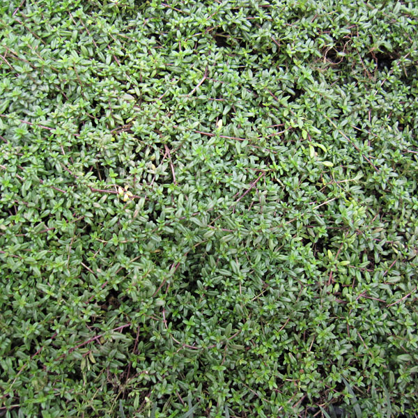 マット植物:タイム:ロンギカウリスのマット25cm×25cm 10枚セット