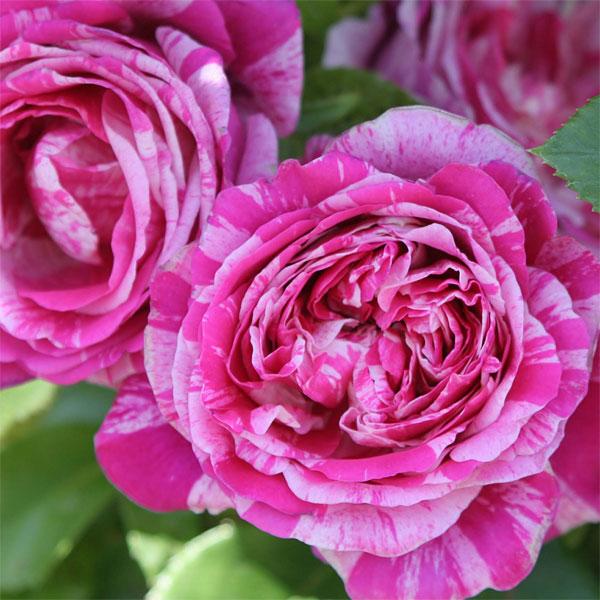 バラの苗/[送料無料]つるバラ:フランボワーズ バニーユ8号大型アンドン仕立て