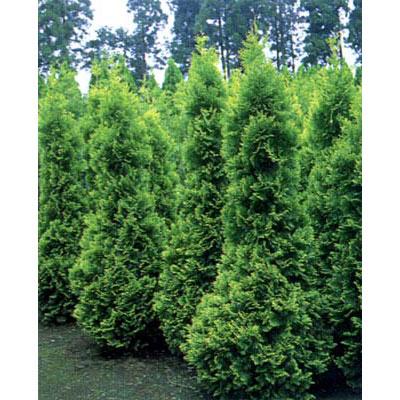 花木 庭木の苗/ニオイヒバ:ヨーロッパゴールド樹高1.2m根巻き 3本セット