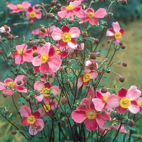 コンパクトなプリティレディシリーズ シュウメイギク 引き出物 秋明菊 高品質新品 :ダイアナ5号鉢植え