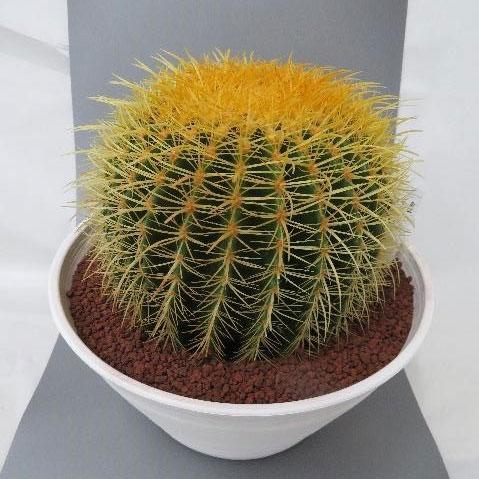 観葉植物/サボテンの王様:金シャチ10号素焼き鉢植え