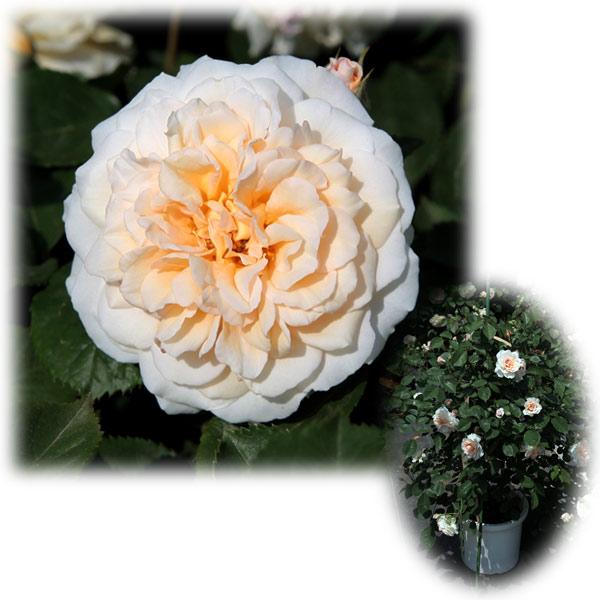 バラの苗/[送料無料]つるバラ:バフ・ビューティー8号大型アンドン仕立て