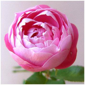 バラの苗/[送料無料]つるバラ:ラ・レーヌ・ビクトリア8号大型アンドン仕立て