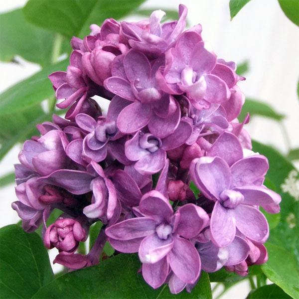 花木 庭木の苗/ライラック:ミセス・エドワード・ハーディング樹高1.2m根巻き