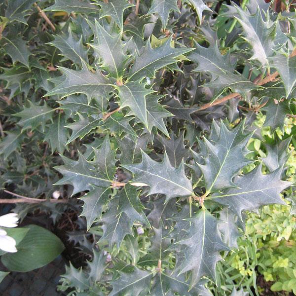 花木 庭木の苗/ヒイラギ(オニヒイラギ):3.5号ポット20株セット