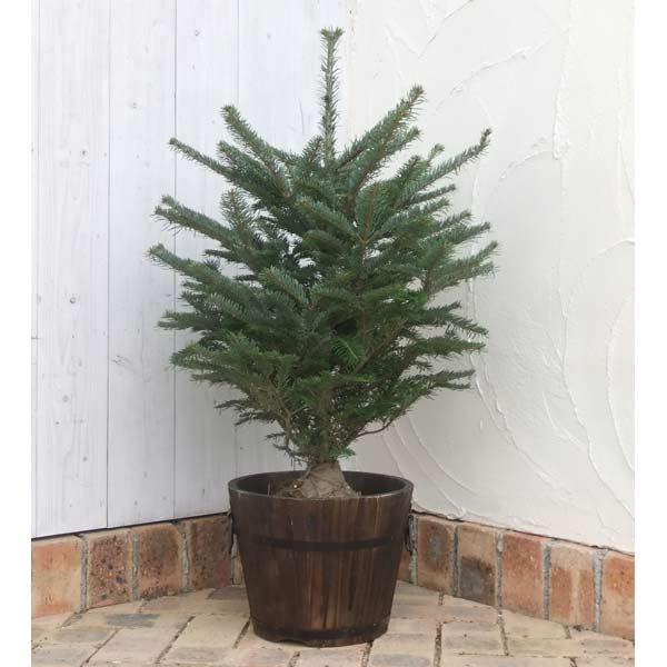 花木 庭木の苗/もみの木(モミノキ):ウラジロモミ樹高80~90cm鉢植えセット