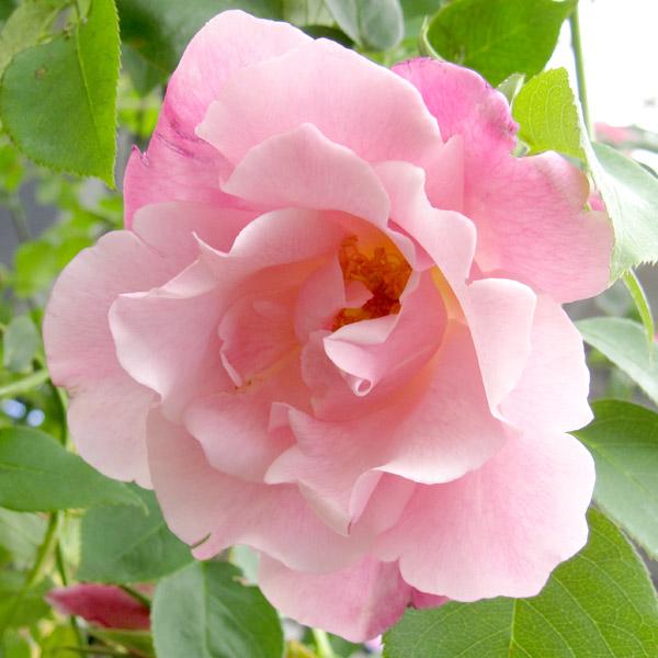 バラの苗/[送料無料]つるバラ:スパニッシュビューティ 8号大型アンドン仕立て